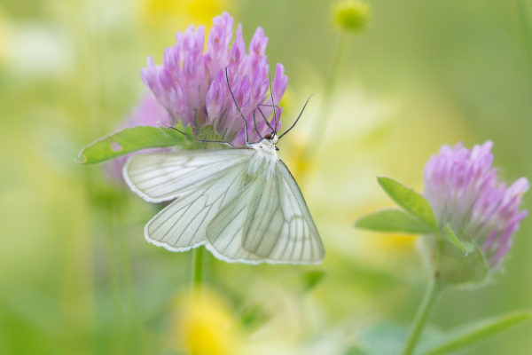 159300667-butterfly-on-clover